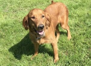 Emmy: AKC, Dark, Female Show Quality Golden Retriever