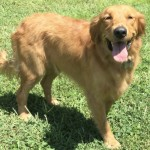 Kaia: AKC, show quality, medium, female Golden Retriever