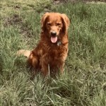 Jake: AKC, dark, male, show quality, DNA registered Golden Retriever. 90lbs