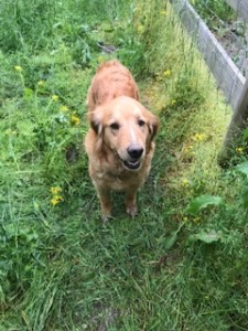 Rose:  AKC, medium/Light, Female, Show Quality, Golden Retriever