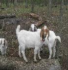 _wsb_139x142_baby+goats