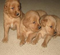 3 Cute Puppies at 5 Weeks Old